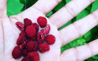Thimbleberries!