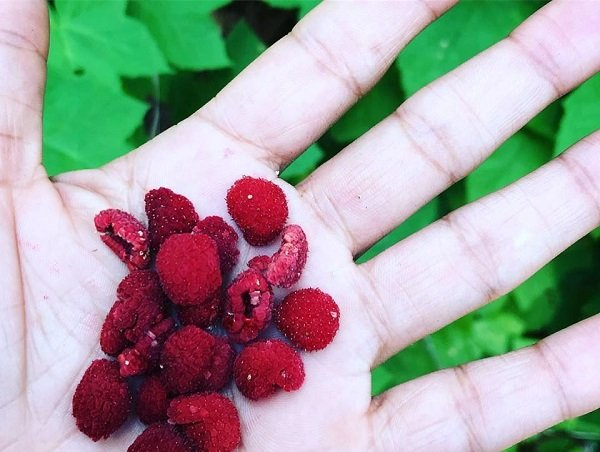 Victoria Vives - Thimbleberries!